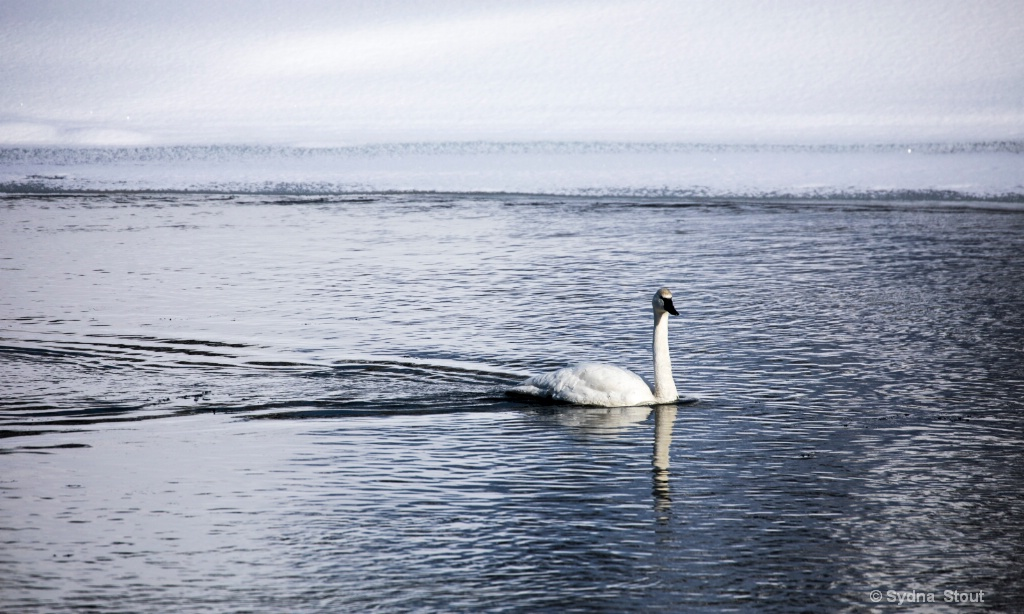 yellowstone river swan - ID: 15534362 © Sydna  Stout