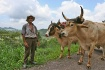 Drover With Oxen
