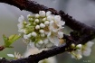Plum Blossoms in ...