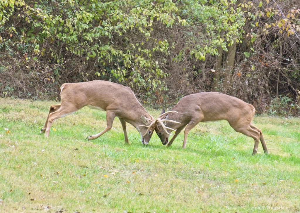 fighting bucks - ID: 15545864 © Linda R. Ragsdale