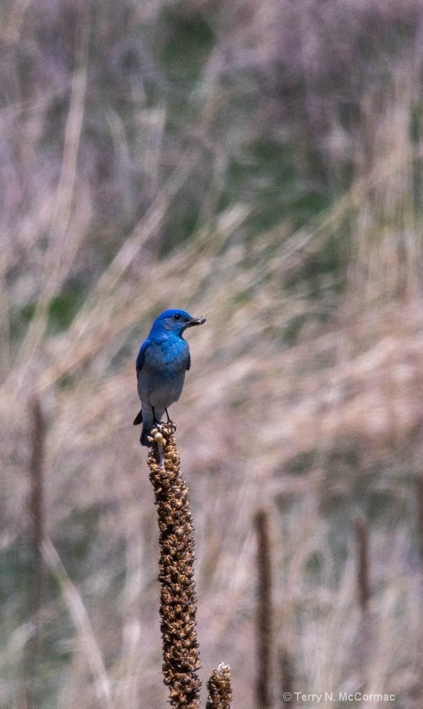 Mountian Blue Bird - ID: 15547408 © TERRY N. MCCORMAC