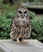 Owl on Backyard B...