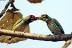 Barbet pair