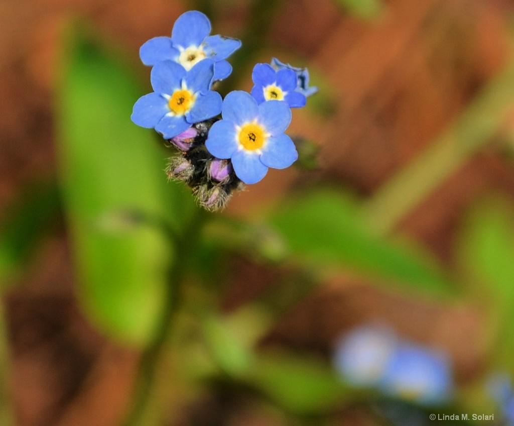 Forget Me Not - ID: 15557534 © Linda M. Solari