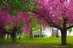 Cherry Blossom Tr...