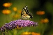 Swallowtail and F...