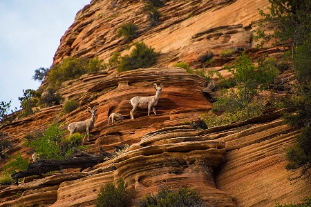 Mountain Goat Family at Zion National Park