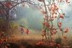Red Silk Cotton T...