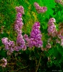 Lilacs this sprin...