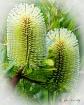 Banksia serrata -...