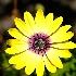 © Donna Rapp PhotoID # 15592435: crazy daisy