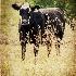 © Donna Rapp PhotoID # 15593601: Cow 712