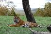 A Sumartran Tiger