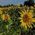 © Thomas  A. Statas PhotoID # 15599342: Sunflowers