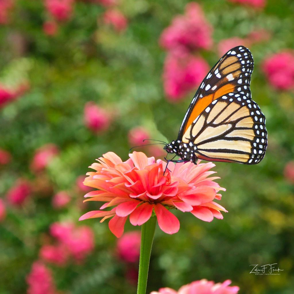 The beautiful Monarch - ID: 15601277 © Zelia F. Frick