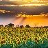 © Roxanne M. Westman PhotoID# 15603225: North Dakota sunflowers in their glory