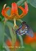 Swallowtail on Tu...