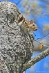 Young Squirrels N...