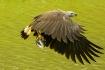 Grey headed eagle