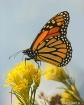 Monarch at Prospe...