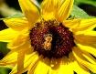 SUNFLOWERS = BEES