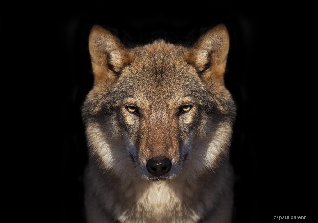 Lone Wolf - ID: 15613213 © paul parent