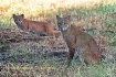 Bobcat and kitten