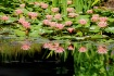 Pretty Pink Pond ...
