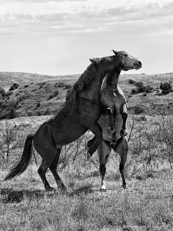 Establishing the alpha stallion