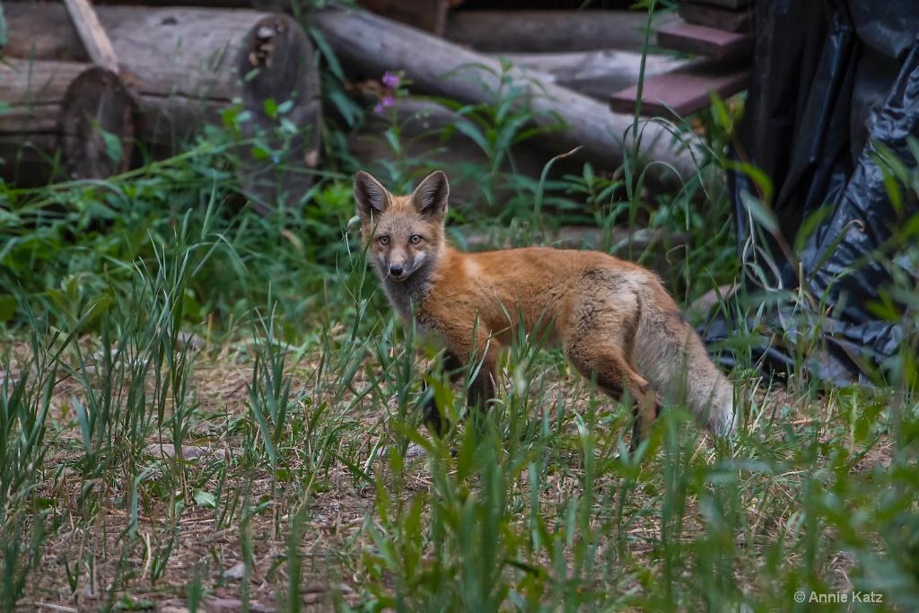 Red Fox Kit - ID: 15620410 © Annie Katz