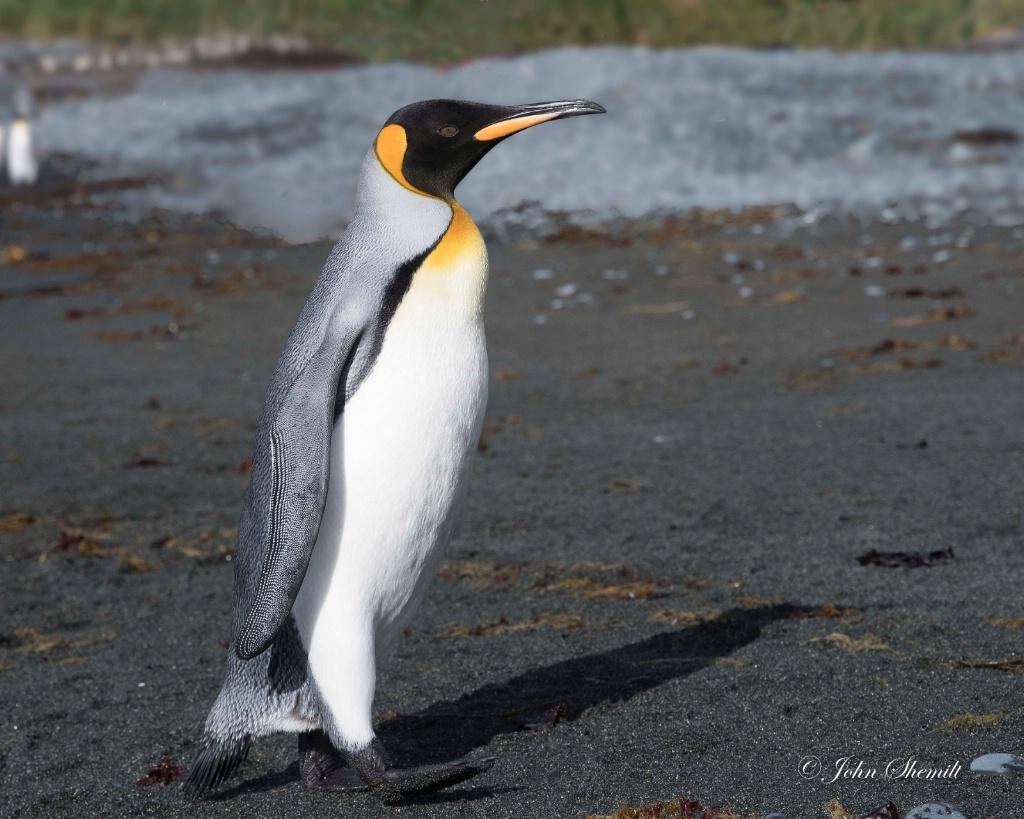 King Penguin - Feb 15th, 2017 - ID: 15639567 © John Shemilt