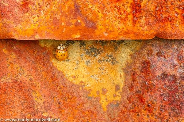 Ladybug and Rust - I - ID: 15640602 © Marilyn Cornwell