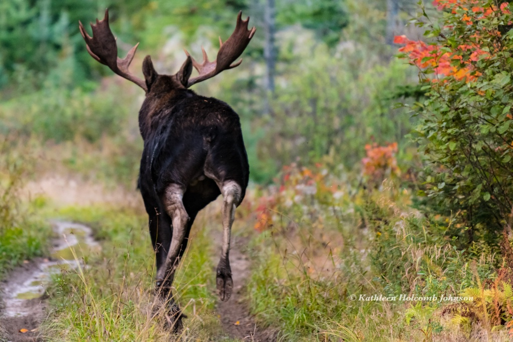Moose Leaving! - ID: 15641741 © Kathleen Holcomb Johnson