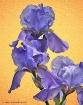 Purple Iris Trio