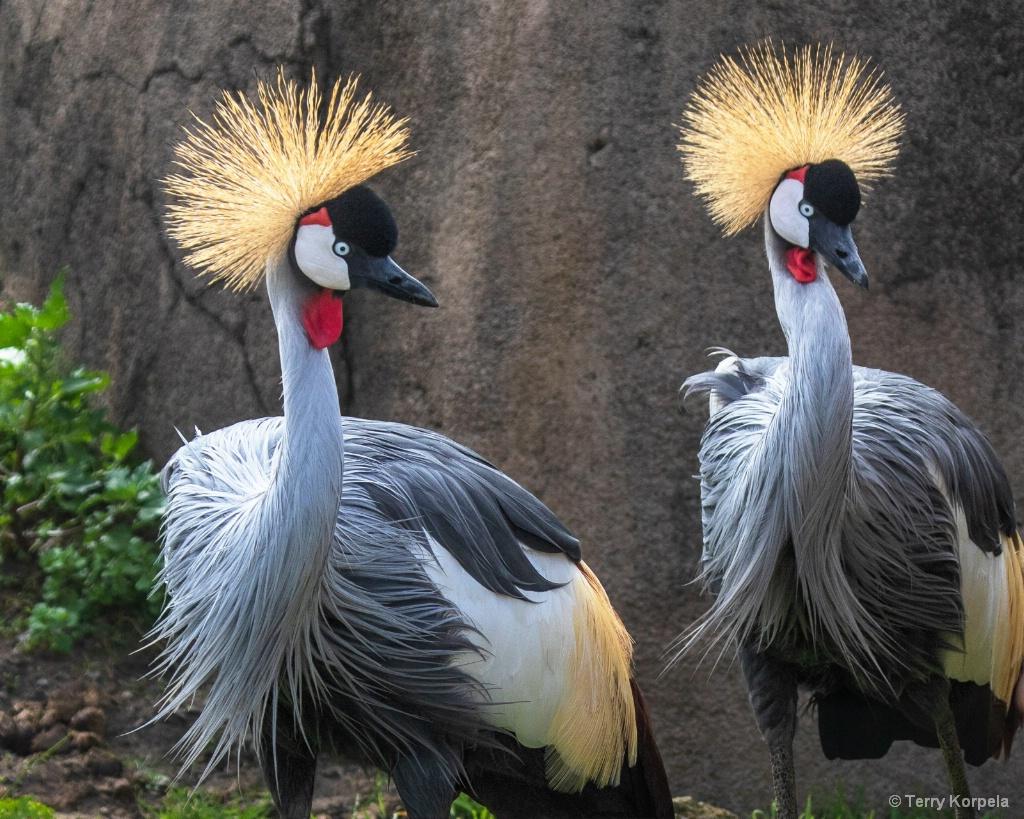 East African Crown Cranes - ID: 15649046 © Terry Korpela