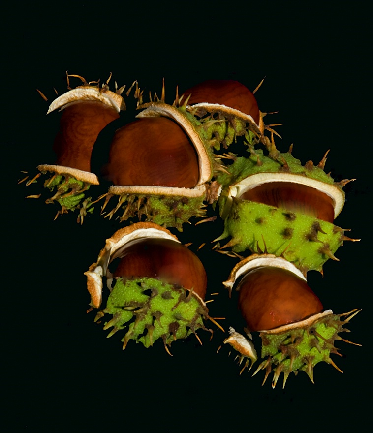 Ripened Chestnuts