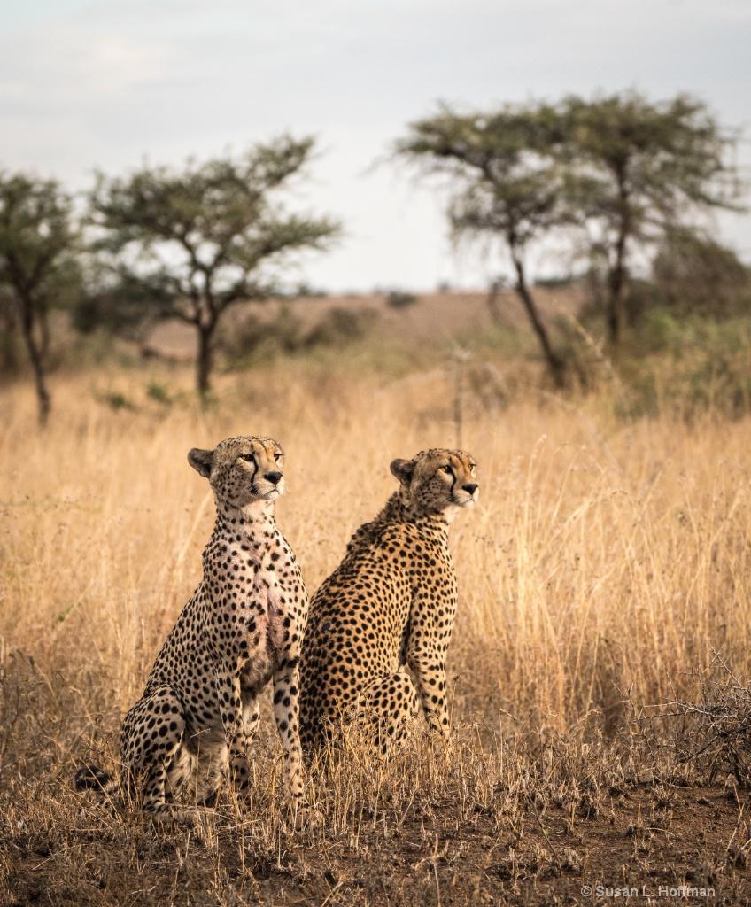 Tanzania jaguars - ID: 15661550 © Susan L. Hoffman