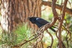 Black Crow Croaki...