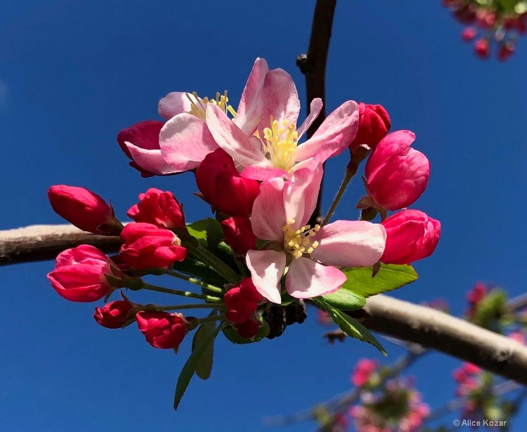 Cherry Blossom Perfection - ID: 15665494 © Alice Kozar