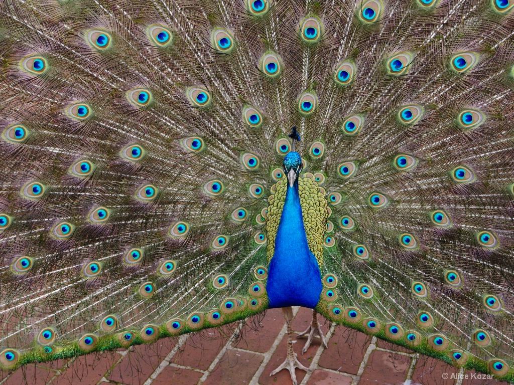 Percy in full plumage - ID: 15665499 © Alice Kozar