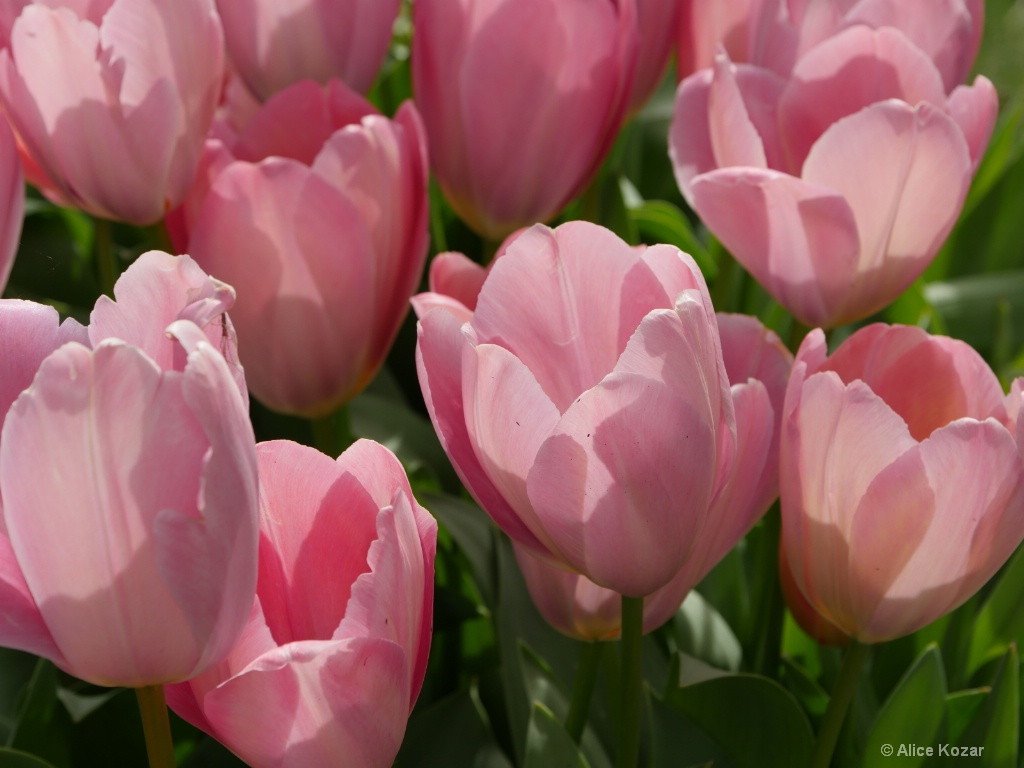 Translucent Tulips - ID: 15665503 © Alice Kozar