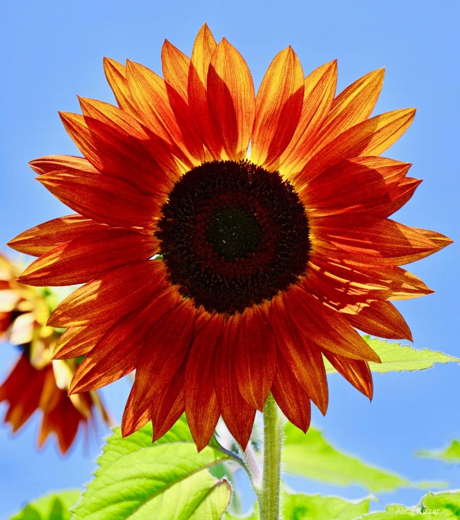 Bold summer salute! - ID: 15665522 © Alice Kozar