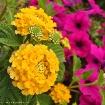 Lantana y Petunia