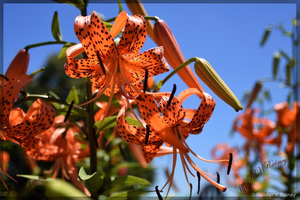 Antietam Battlefield Flowers - ID: 15670713 © Randall V. Rainey