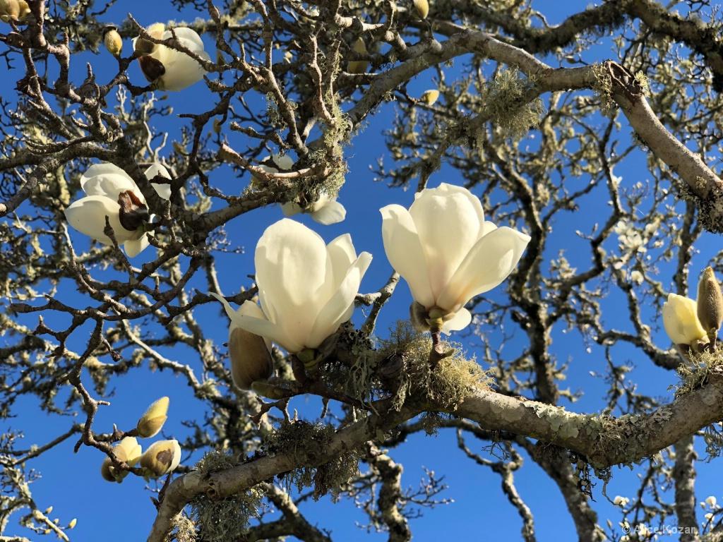 Magnolia Blossoms! - ID: 15672227 © Alice Kozar