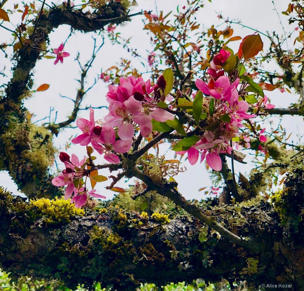 Cherry Blossoms! - ID: 15672238 © Alice Kozar