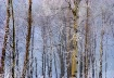 Trees in Hoarfros...