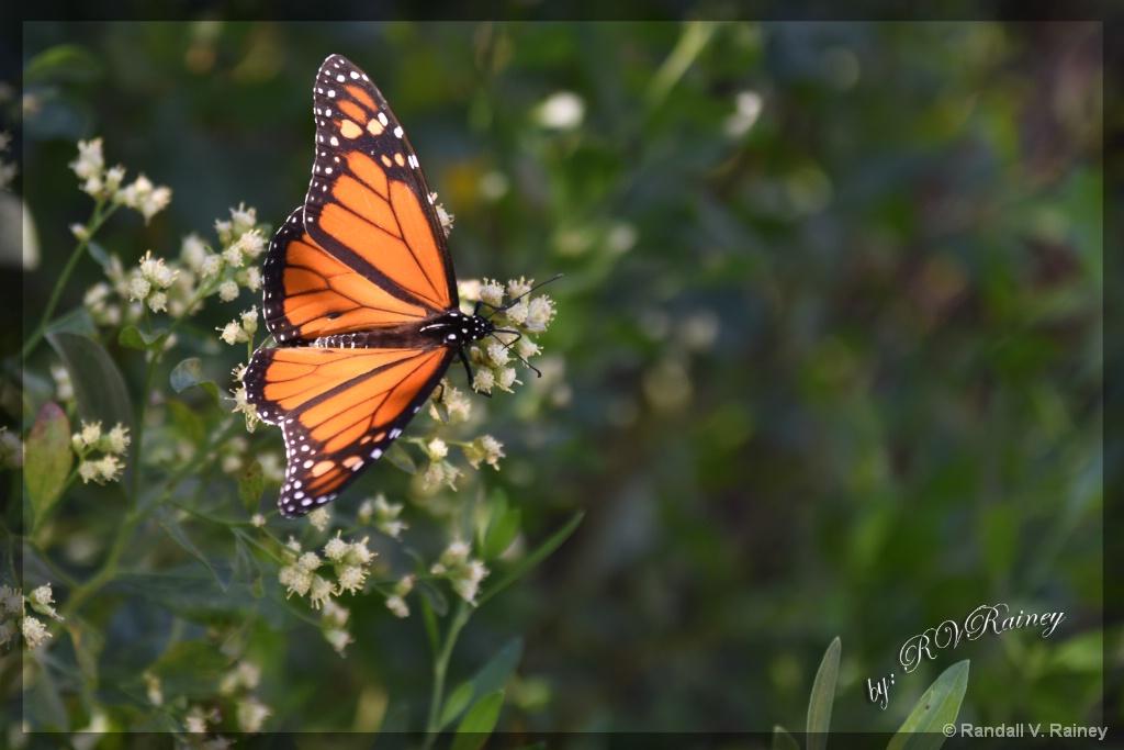 Butterfly 3 - ID: 15674800 © Randall V. Rainey