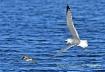 Gull chasing belt...