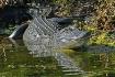 Alligator, Florid...